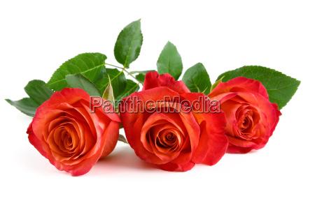 drei rote rosen auf weiss