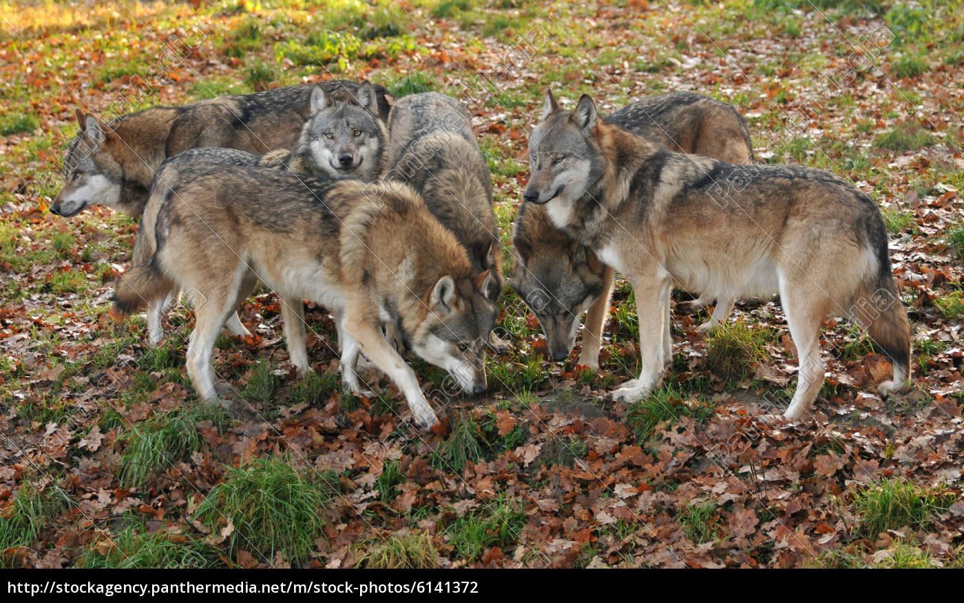 Wolfsrudel - Lizenzfreies Foto - #6141372 - Bildagentur PantherMedia