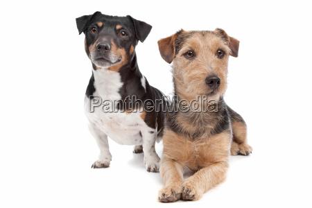 jack russel terrier hund und eine
