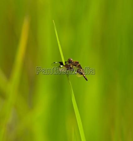 weiblich insekt afrika libelle wildlife weibchen