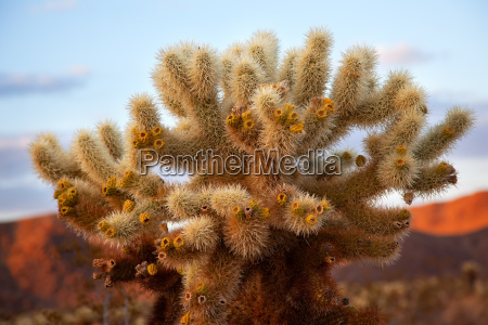 cholla kaktus garten mojave wueste joshua