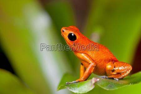 orange giftpfeilfrosch