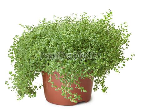potted gruene pflanze auf weissem hintergrund