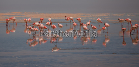 flamingos in lagoon