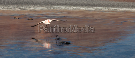 flamingos in lagoon bolivia