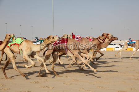 laufende kamele mit einem roboter jockeys
