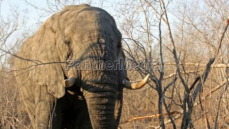 adult elefant bull sabi sand game