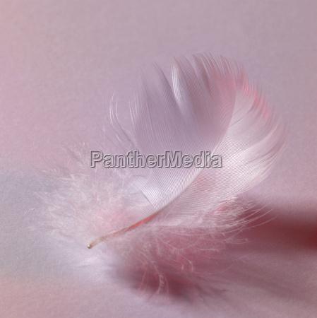 white down feather