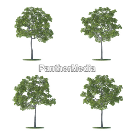 juglans nigra trees collection isolated on
