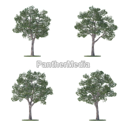 platanus trees collection isolated on white