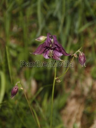 wilde bergorchidee