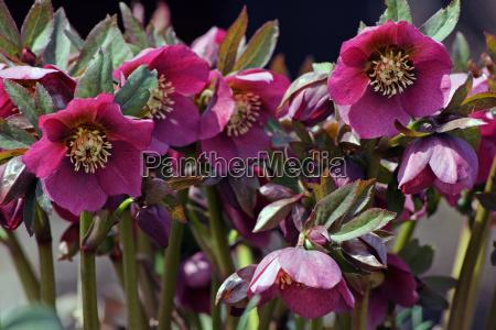 fruehlingsblume die schneerose oder christrose