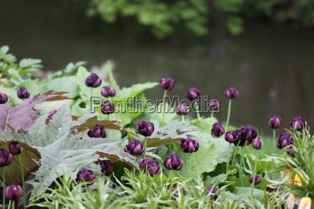 tulipa black hero gefuellte spaete tulpe