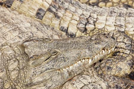 schlaf krokodile