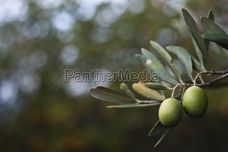 gruene oliven