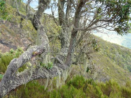 overgrown tree at mount muhabura in