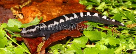 tier amphibie salamander molch
