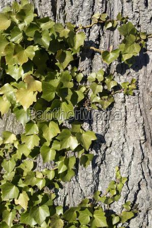 ivy horizontal