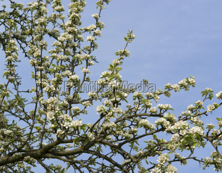 pear blossoms on branch