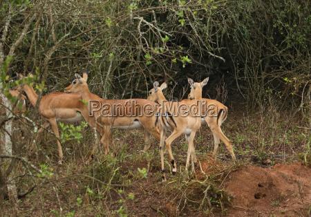 uganda kobs in africa