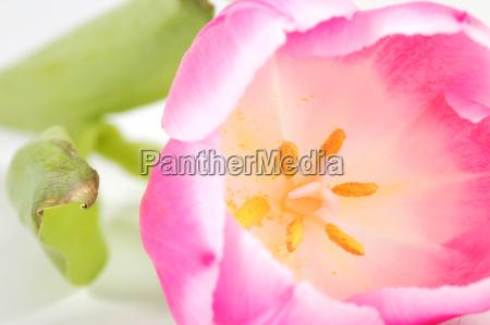 tulpe mit offener bluete