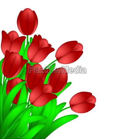 buendel rote tulpen blumen auf weissem