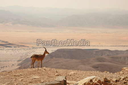 ibex stands on the cliff at