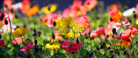 colorful poppy meadow