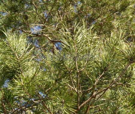 pine needles and twigs