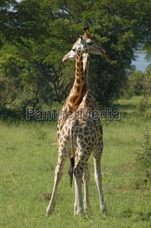 fighting giraffes in uganda