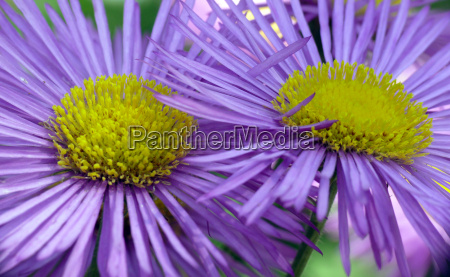 asters in purple and yellow