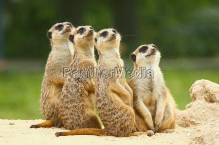 schoene gruppe von erdmaennchen suricata sitzen