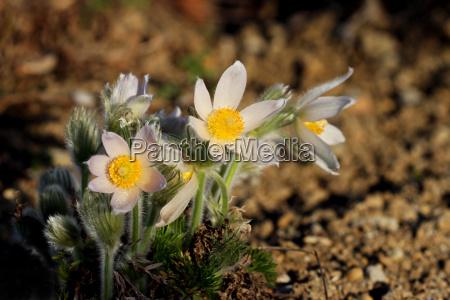 white pasque pulsatilla vulgaris