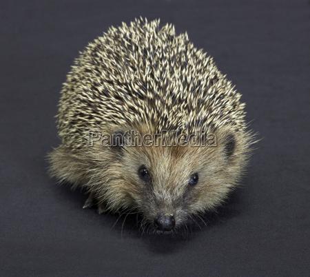 hedgehog portrait in dark back