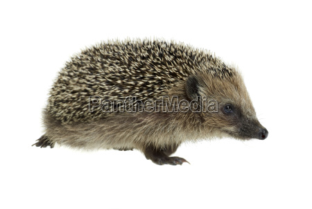 walking hedgehog in white back