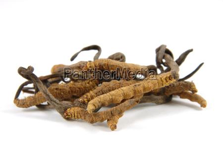 cordyceps eine klasse der schlauchpilze