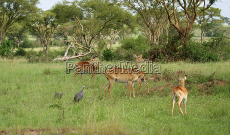 uganda kobs in the savannah