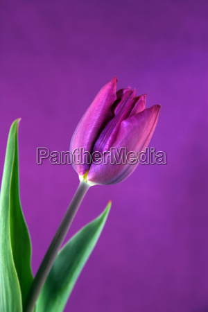 tulpenbluete