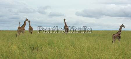 grassland scenery with giraffes in africa