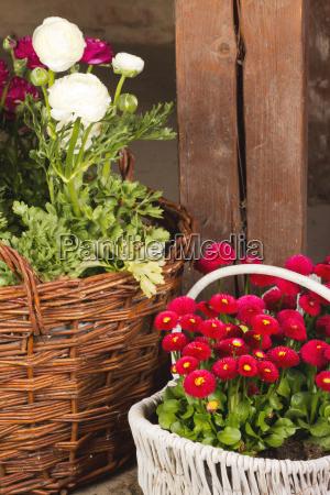 flor planta marron caucasico canasta ranunculo
