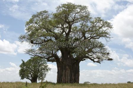 afrikanischer affenbrotbaum