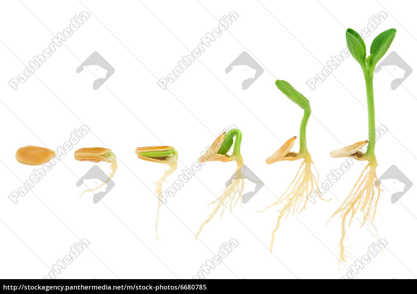 Reihenfolge Der Kurbis Pflanze Isoliert Lizenzfreies Bild