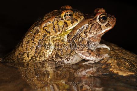 tier amphibie afrika frosch kroete paaren