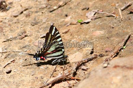 zebra schwalbenschwanz eurytides marcellus