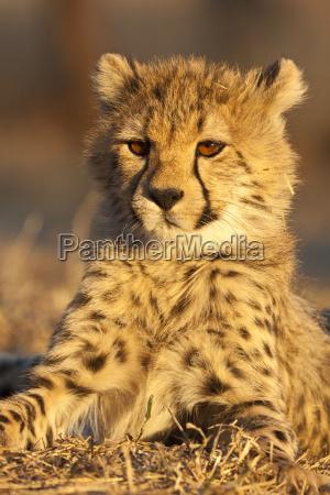 junger gepard acinonyx jubatus im portraet