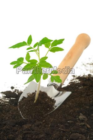 tomato seedling on garden trowel isolated