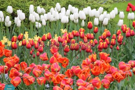 ein buntes tulpenbeet