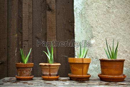 aloe vera plant in the garden