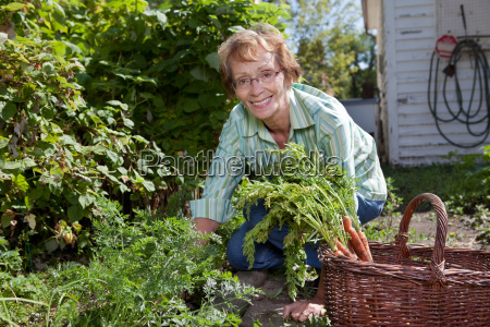senior woman harvesting carrots