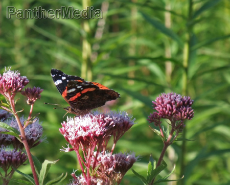 red admiral on flower at summer